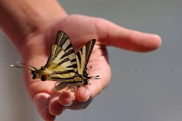 Das Sterben der Schmetterlinge - Warum sie verschwinden und was das für uns bedeutet
